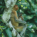 A Proboscis Monkey by Tim Laman
