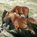 A Proud Stallion With His Mares by Kim Galluzzo Wozniak