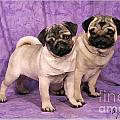 A Pug And A Pug by Maxine Bochnia
