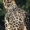 A Rear View Of A Rothschild Giraffe by Nick Caloyianis