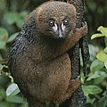 A Red-bellied Lemur Clings To A Tree by Michael Melford
