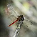 A Red Dragonfly by Xueling Zou