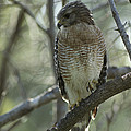 A Red Shouldered Hawk Perches In A Tree by Klaus Nigge
