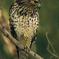 A Red Shouldered Hawk Perches On A Tree by Klaus Nigge