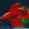 A Red Siamese Fighting Fish In An by Jason Edwards