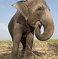 A Rescued Asian Elephant Eats Sugar by Lori Epstein