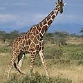 A Reticulated Giraffe On A Samburu by Roy Toft