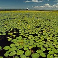 A River Delta Filled With Lily Pads by Bill Curtsinger