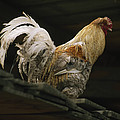 A Rooster Struts On A Wood Roof by Gordon Wiltsie