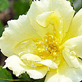A Rose Is A Rose Rrp by Jim Brage