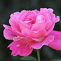 A Rose by Travis Truelove