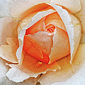 A Roses Tear by Dave Mills