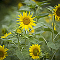 A Row Of Bright Yellow Sunflowers Grow by Hannele Lahti