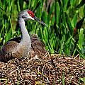 A Sandhill Crane Nesting by Bill Dodsworth