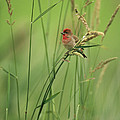 A Scarlet Grosbeak Perched On Grass by Klaus Nigge