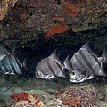 A School Of Atlantic Spadefish by Terry Moore
