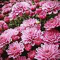 A Sea Of Pink Chrysanthemums by Mother Nature