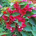 A Section Of Pink Bougainvillea Flowers by Ashish Agarwal