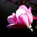 A Simple Rose by Travis Truelove