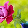 A Single Rose by Heidi Smith