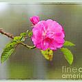 A Single Rose by Judi Bagwell