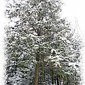 A Single Snow Covered Evergreen Pine Tree Framed In The Canadian Wilderness After A Snow Storm by Chantal PhotoPix