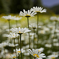 A Small Group Of Daisies Stands by Ralph Lee Hopkins