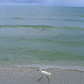 A Snowy Egret Walks Along The Beach by Joel Sartore