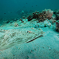 A Southern Stingray On The Sandy Bottom by Michael Wood