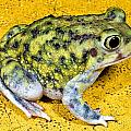 A Spadefoot Toad by Jack Goldfarb