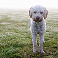 A Spanish Water Dog Standing A Field by Julia Christe