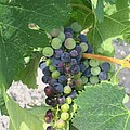 A Spider On The Grapes by Angela  Rose