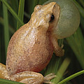 A Spring Peeper Calls For A Mate by George Grall