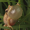 A Spring Peeper Faces The Camera by George Grall