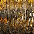 A Stand Of Aspen Trees Displaying by Melissa Farlow