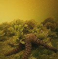 A Starfish In Waters Clouded By A Red by Bill Curtsinger