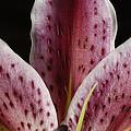 A Stargazer Lily Lilium Orientalis by Joel Sartore