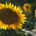 A Sunflower Bows To Its Own Weight by Heather Perry