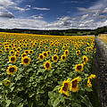 A Sunny Sunflower Day by Debra and Dave Vanderlaan