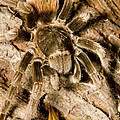 A Tarantula Living In Mangrove Forest by Tim Laman