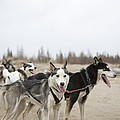 A Team Of Dogs Pull A Cart by Taylor S. Kennedy