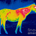 A Thermogram Of A Horse by Ted Kinsman