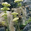 A Tiny Lynx Cub Felis Lynx Peeks by Norbert Rosing