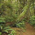 A Trail Cuts Through Ferns And Shrubs by James A. Sugar