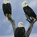 A Trio Of American Bald Eagles Perched by Klaus Nigge