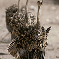 A Trio Of Ostriches, Struthio Camelus by Tom Murphy