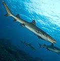 A Trio Of Whitetip Reef Sharks, Kimbe by Steve Jones