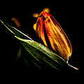 A Tulip With Sheen by David Patterson