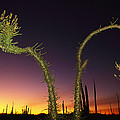 A View At Twilight Of A Boojum Tree by Bill Hatcher