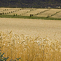 A View Of A Summer Field Of Wheat by Stephen Sharnoff